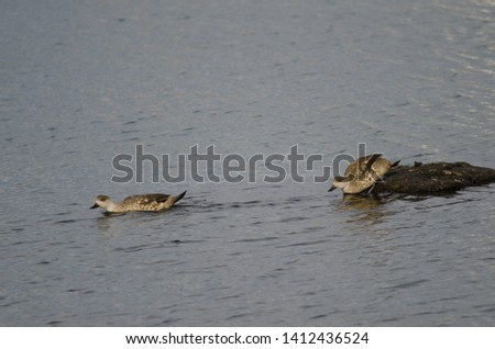 Patagonian crested ducks (Lophonetta specularioides specularioides). Puerto Natales. Ultima Esperanza Province. Magallanes and Chilean Antarctic Region. Chile. #1412436524