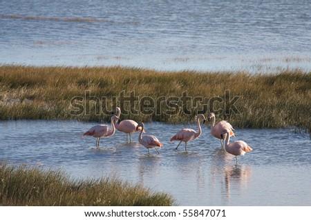 Patagonian flamingos - stock photo