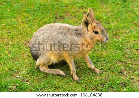 Patagonian Hare (Dolichotis patagonum). These large relatives of guinea pigs are common in the Patagonian steppes of Argentina but live in other areas of South America as well such as Paraguay.