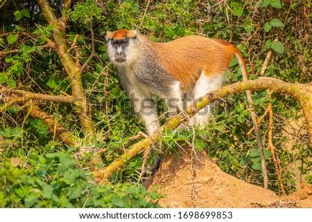 Patas monkey or hussar monkey looking for danger, Murchison Falls National Park, Uganda. Foto stock ©