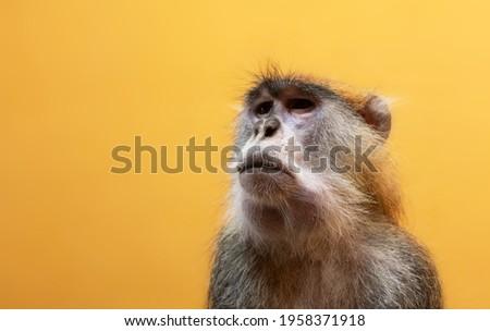 Patas monkey portrait on orange background Foto stock ©
