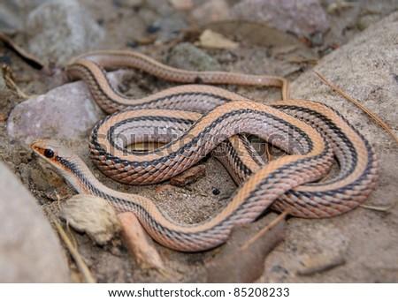 worm snake a large eastern garter snake western coachwh