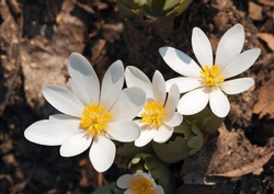 Patch of Bloodroot (Sanguinaria canadensis)