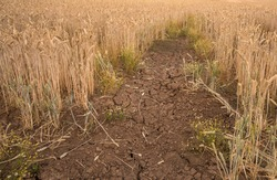 Patch of dry cracked ground in a Barley crop field