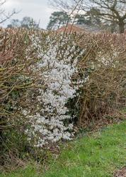Patch of random hawthorn blossom (crataegus  monogyna) growing in a recently pruned hedgerow