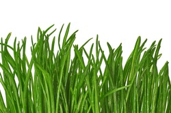 patch of tall green grass against a white background