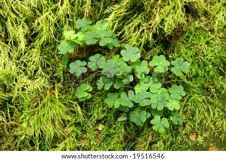Patch of Three Leaf Clover with Moss Background Horizontal