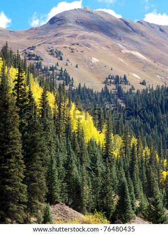 Patch of yellow Aspen among tall Pines in the Rocky Mountains