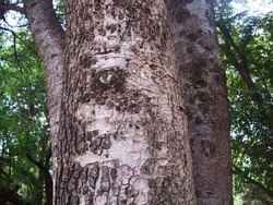 PATCHY TEXTURE ON THE BARK OF A TREE TRUNK