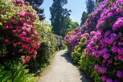 Path between Rhododendron blooming bushes on flower island Mainau, Lake Constance, Germany