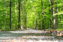 Path in forrest in spring time with green leafs