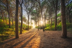 Path in pinewood forest and sea at sunset, Tombolo di Marina di Cecina, Maremma, Tuscany, Italy Europe.