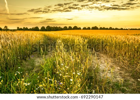 Path in wheat field at sunset, farm land with crops, agricultural countryside landscape