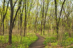 Path leading through deciduous forest between bright green trees. Hiking trail in forest on a spring sunny day