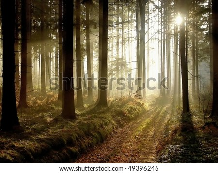 Path leading through the coniferous forest in the direction of the setting sun. Photo taken in November.
