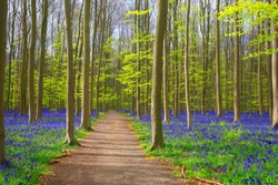 Path through bluebells carpets in springtime in Hallerbos forest, Belgium