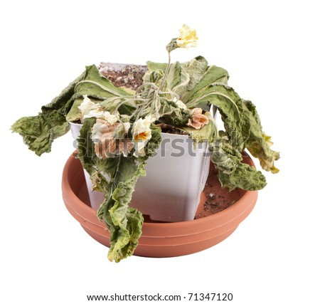 Pathetic dead primrose flower in pot, all that returns after vacation