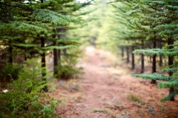 Pathway among pine trees in the forest. Blurry view