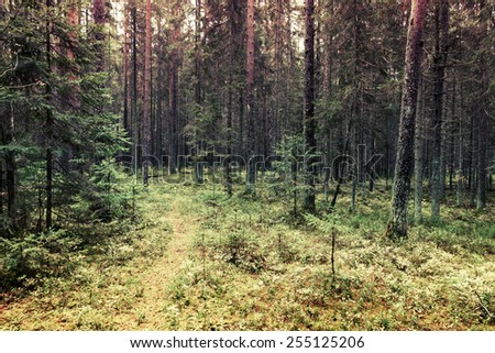 pathway in pine tree forest ...