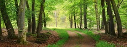 Pathway (natural tunnel) in Veluwe national park, Netherlands. Mighty deciduous beech trees, roots, carpet of golden autumn leaves. Spring forest. Picturesque panoramic scenery. Nature, environment