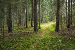 Pathway through the evergreen forest. Ancient pine and deciduous trees, moss, fern, plants. Warm sunlight. Natural textures. Dark atmospheric landscape. Pure nature, environment, ecology, eco tourism