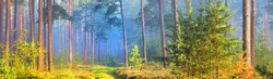 Pathway through the evergreen forest in a fog. Ancient pine, spruce, fir tree silhouettes close-up. Atmospheric landscape. Sun rays, golden light. Nature, ecology, fantasy, fairytale. Panoramic view