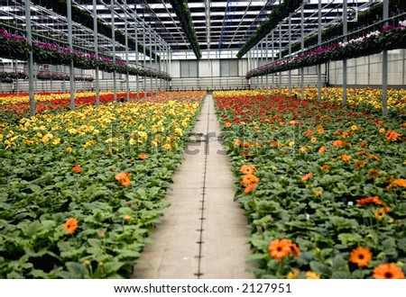 Pathway through the Gerbera ; Greenhouse
