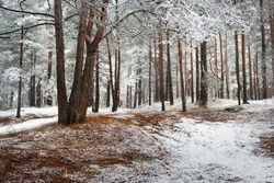 Pathway through the hills of the evergreen forest in a fog. Mighty pine, spruce, fir trees covered by the first snow. Early winter. Atmospheric landscape. Ecotourism, nordic walking, nature, seasons