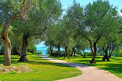 Pathway with olives trees on the hills of the park Parco Pubblico Tomelleri and Garda Lake in the background, Sirmione town,Italy