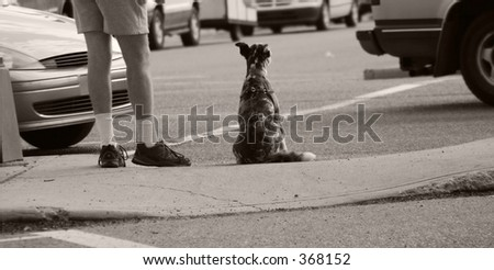 Patiently waiting - A dog waits for the lights with his owner