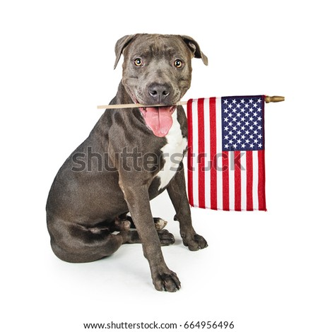c531b4aed Patriotic Pit Bull dog carrying American flag in mouth
