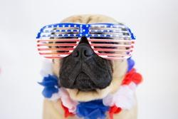 Patriotic pug wearing American Flag sunglasses