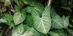 Patten or texture white and green of Syngonium podophyllum leaves.