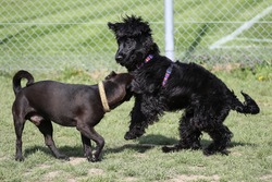 Patter Dale Terrier and Cocker Spaniel playing