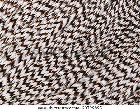 Pattern black and white feathers of jungle rooster.