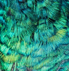 Pattern from hair's peacock.