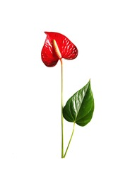 Pattern of a red flower of different sizes on a white background. Seamless pattern. Anthurium flower isolated on white background. Pattern of anthurium.