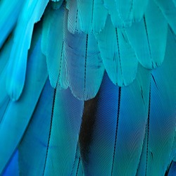 Pattern of Blue and Gold Macaw feathers