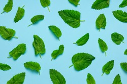 Pattern of fresh green leaves of mint, lemon balm, peppermint on blue background top view. Mint leaf texture. Ecology natural layout. Flat lay Mint leaves pattern spearmint herbs nature background