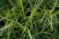 Pattern of plant names Carex Morrowii Ice Dance, also known as Japanese Variegated Sedge Grass and Carex Ice Dance, is an evergreen sedge with sharp, long, green leaves with white edges