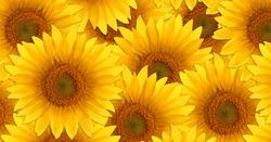 Pattern of sunflower flowers. Bright yellow summer flowers.