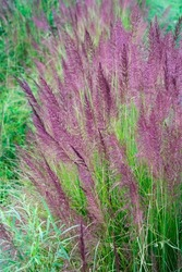 Pattern of swaying Vetiver Grass or Vetiveria Zizanioides Nash flower, Vetiver is related to Sorghum but shares many morphological characteristics with other fragrant grasses, violet-green background