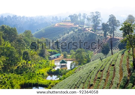 Pattern of tea plantation ,Chiang Rai province.North of Thailand - stock photo