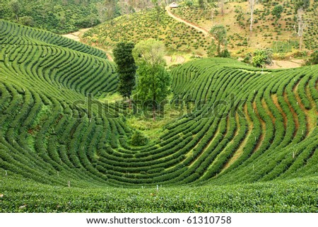 pattern of tea plantation in mountain. Thailand