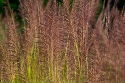 Pattern of Vetiver Grass or Vetiveria Zizanioides Nash flower, selective focus, Vetiver is most closely related to Sorghum but shares many morphological characteristics with other fragrant grasses
