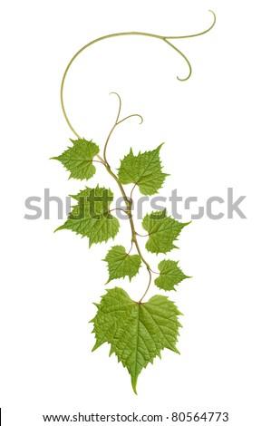 pattern of vine leaves