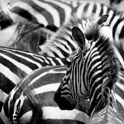 pattern of zebras, masai mara, kenya