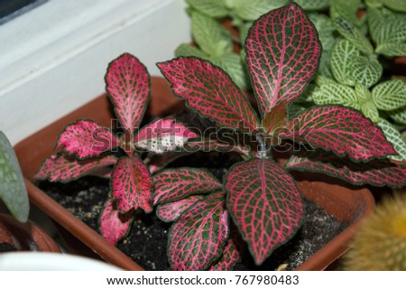 Houseplant Green And Red Leaves on red and green ground cover, red and green ornamental grass, red and green leaf plant,