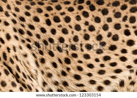 Patterns and dots on skin of a cougar