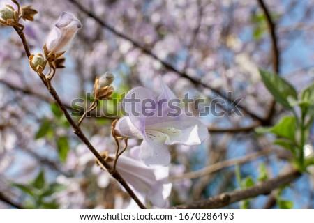 Pau D'arco flowers (Tabebuia avellanedae). Close up of beautiful Pink Trumpet Tree , Tabebuia rosea in full bloom against blue sky Foto d'archivio ©